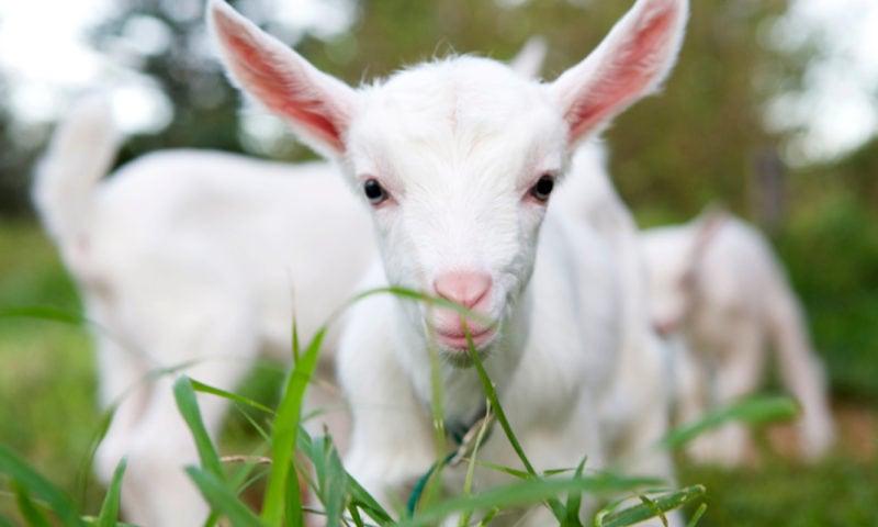 Hilli Goat Tours Norfolk Island11