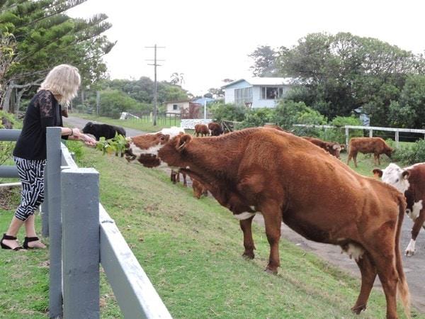 Hibiscus Regal Friendly Cows