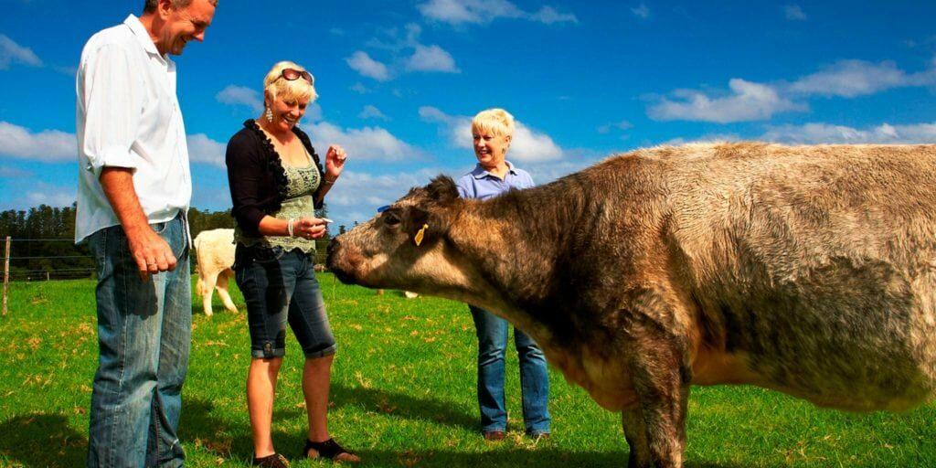 Norfolk Island Travel Centre Couple Cows Farm Tour 2